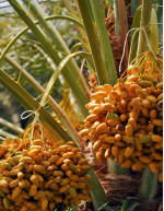 Date Palm Market by Product, Distribution Channel, and Geography - Forecast and Analysis 2021-2025